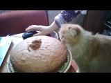 кошка ест торт))